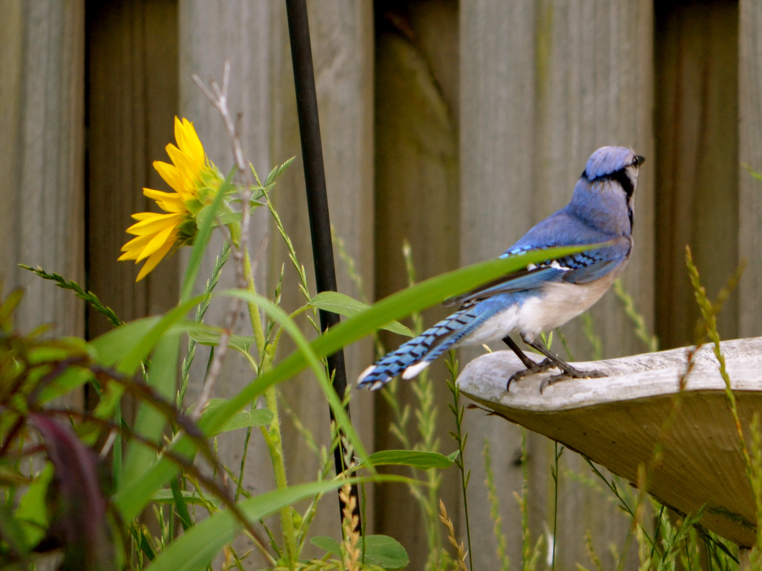 Attracting Blue Jays to your yard - Nature Photo Friday ...