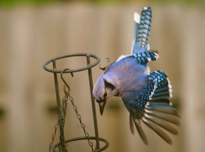 Atraer Blue Jays a su patio - Foto de la naturaleza Viernes - Mamá Social Savvy
