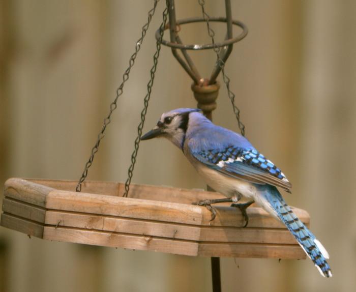 Tratar con Blue Jay inteligente y enérgico, para bien o para mal - BirdWatching